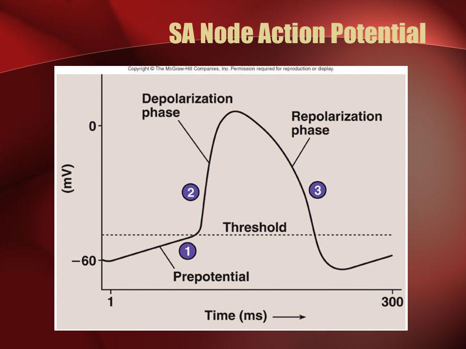SA Node Action Potential