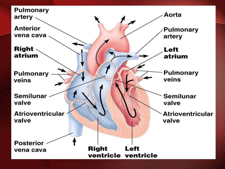 Pathway of the blood Superior Vena Cava Right Atrium Tricuspid Valve Right Ventricle Pulmonary Semilunar Valve Lungs Pulmonary Vein Bicuspid Valve Left Ventricle Aortic Semilunar Valve Aorta To the bodies organs & cells
