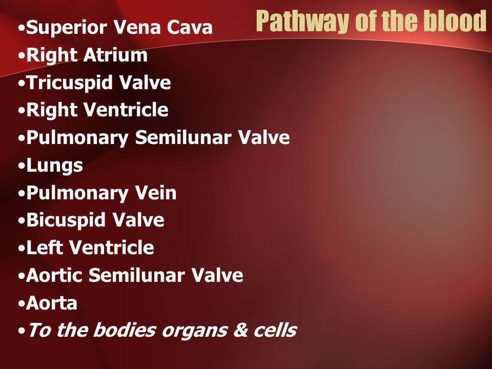 Pathway of the blood Superior Vena Cava Right Atrium Tricuspid Valve Right Ventricle Pulmonary Semilunar Valve Lungs Pulmonary Vein Bicuspid Valve Lef