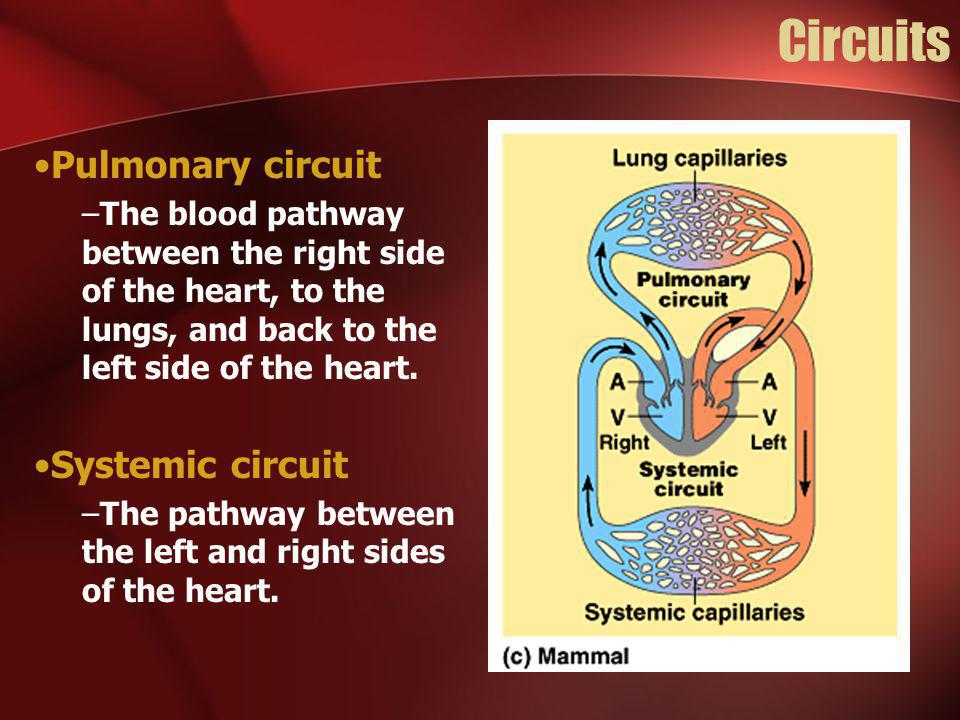 Circuits Pulmonary circuit –The blood pathway between the right side of the heart, to the lungs, and back to the left side of the heart. Systemic circ