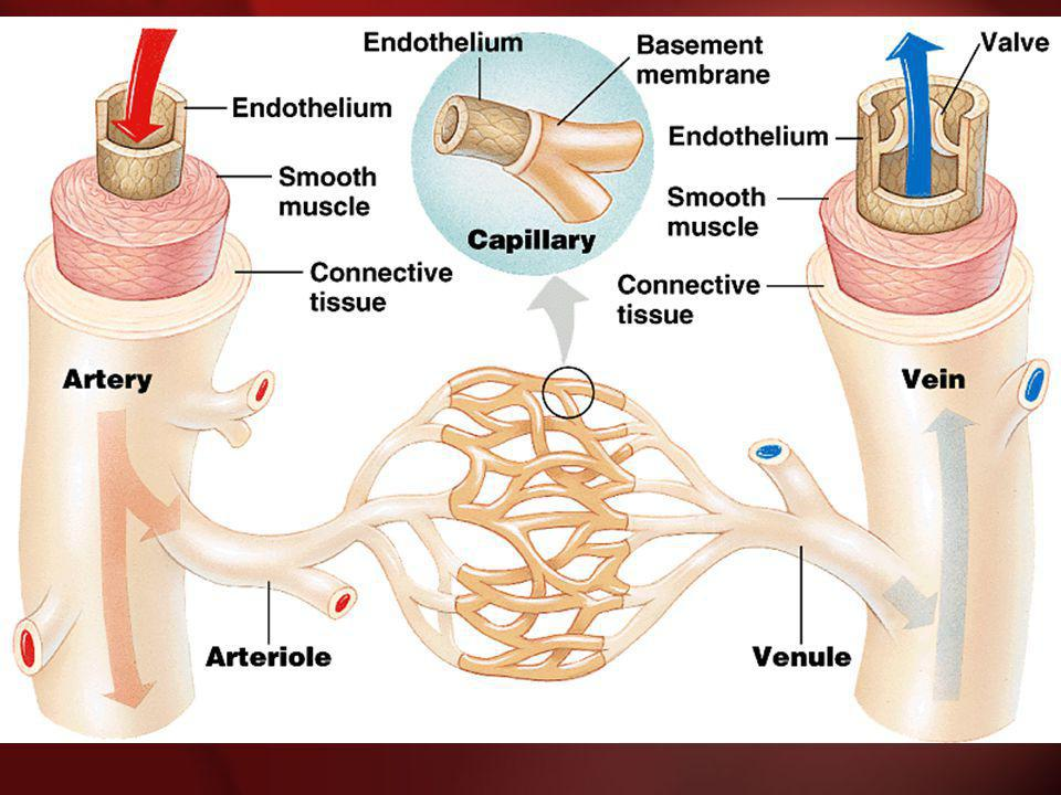 The Cardiovascular System 3.The Blood A.Plasma Liquid portion of the blood.