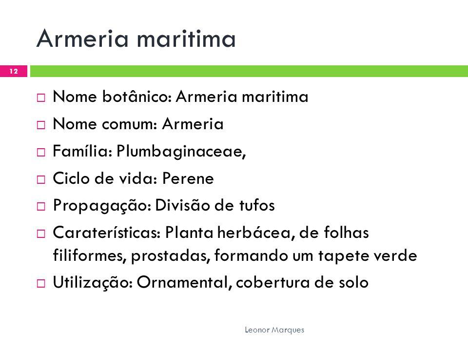 Armeria maritima  Nome botânico: Armeria maritima  Nome comum: Armeria  Família: Plumbaginaceae,  Ciclo de vida: Perene  Propagação: Divisão de t