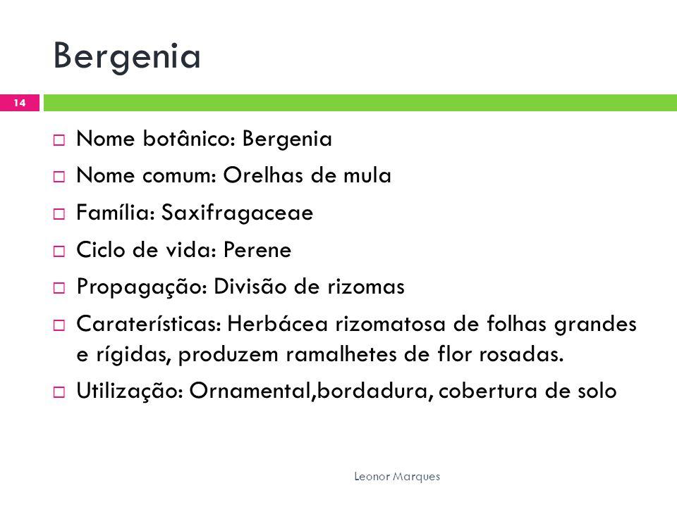 Bergenia  Nome botânico: Bergenia  Nome comum: Orelhas de mula  Família: Saxifragaceae  Ciclo de vida: Perene  Propagação: Divisão de rizomas  Caraterísticas: Herbácea rizomatosa de folhas grandes e rígidas, produzem ramalhetes de flor rosadas.