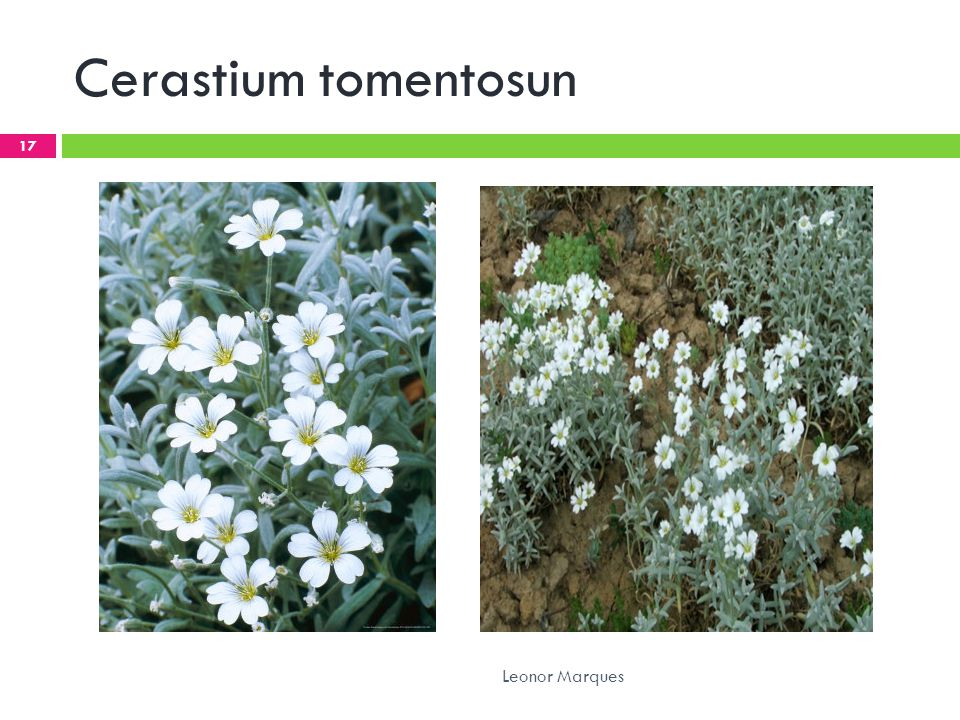 Cerastium tomentosun 17 Leonor Marques