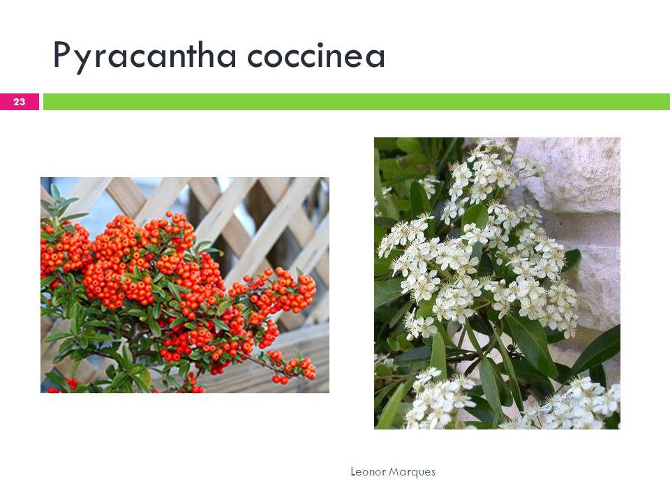 Pyracantha coccinea 23 Leonor Marques