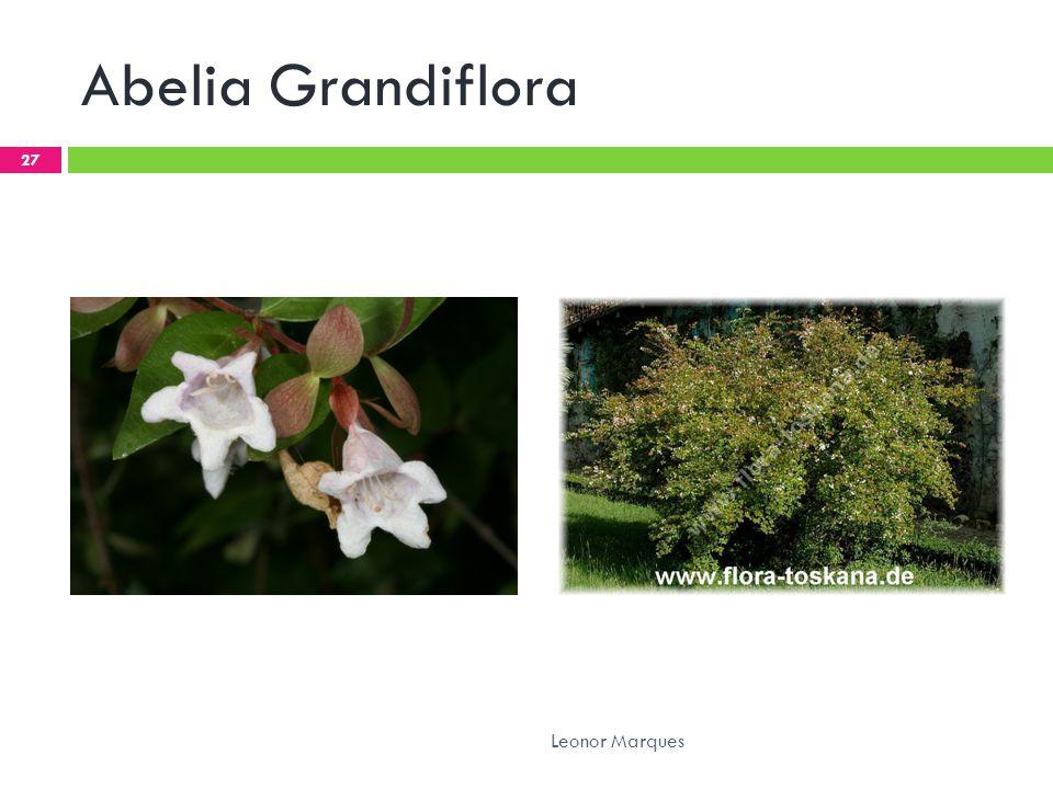Abelia Grandiflora 27 Leonor Marques