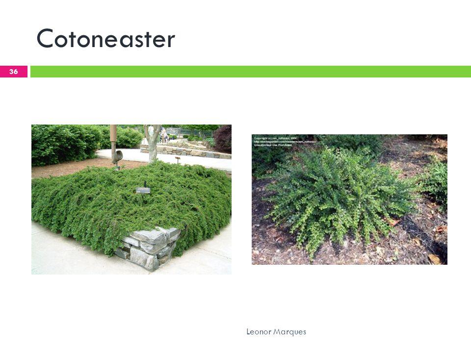 Cotoneaster 36 Leonor Marques