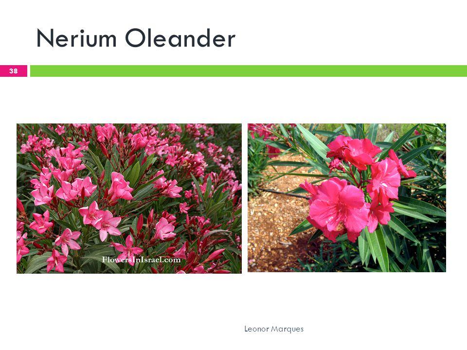 Nerium Oleander 38 Leonor Marques