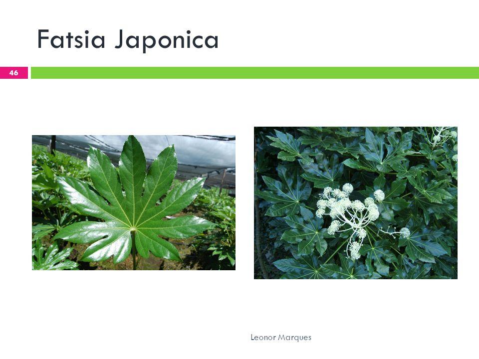 Fatsia Japonica 46 Leonor Marques