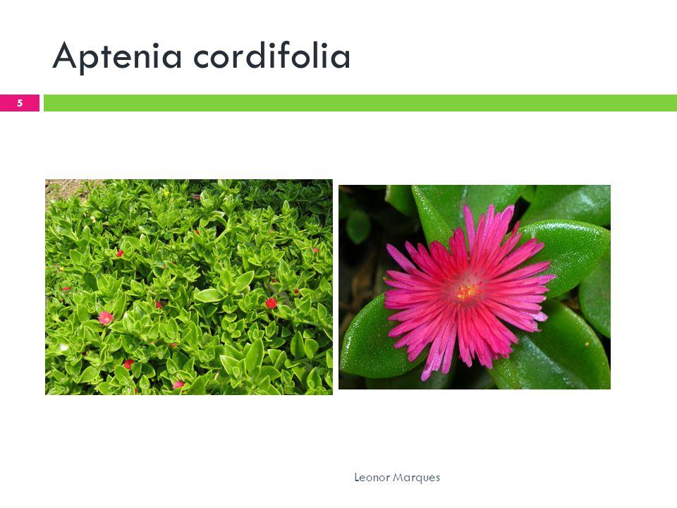 Aptenia cordifolia 5 Leonor Marques
