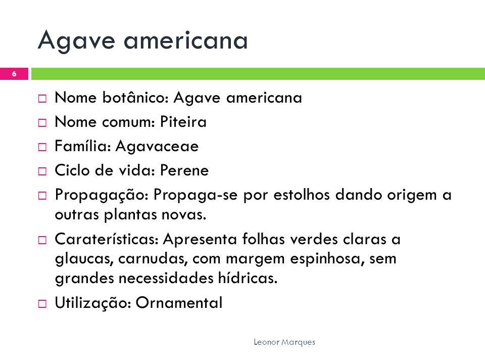 Agave americana  Nome botânico: Agave americana  Nome comum: Piteira  Família: Agavaceae  Ciclo de vida: Perene  Propagação: Propaga-se por estolhos dando origem a outras plantas novas.