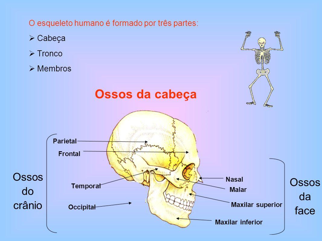 Esterno Coluna vertebral Costelas Principais ossos do tronco