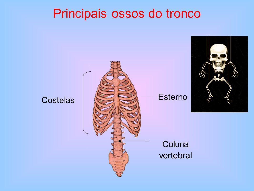 A coluna vertebral É formada pela sobreposição de 33 vértebras, algumas das quais se encontram soldadas formando dois ossos — o sacro e o cóccix.
