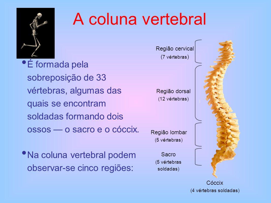 A coluna vertebral É formada pela sobreposição de 33 vértebras, algumas das quais se encontram soldadas formando dois ossos — o sacro e o cóccix. Na c