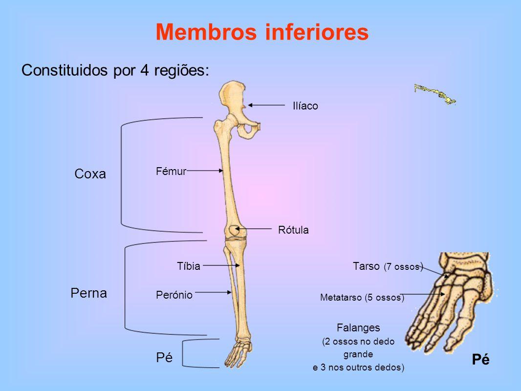 Membros inferiores Constituidos por 4 regiões: Ilíaco Fémur Coxa Tíbia Perónio Perna Pé Rótula Pé Metatarso (5 ossos) Tarso (7 ossos ) Falanges (2 oss