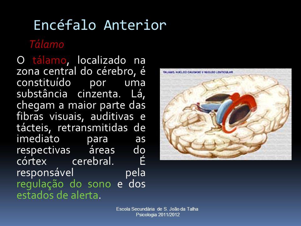 Encéfalo Anterior O tálamo, localizado na zona central do cérebro, é constituído por uma substância cinzenta. Lá, chegam a maior parte das fibras visu
