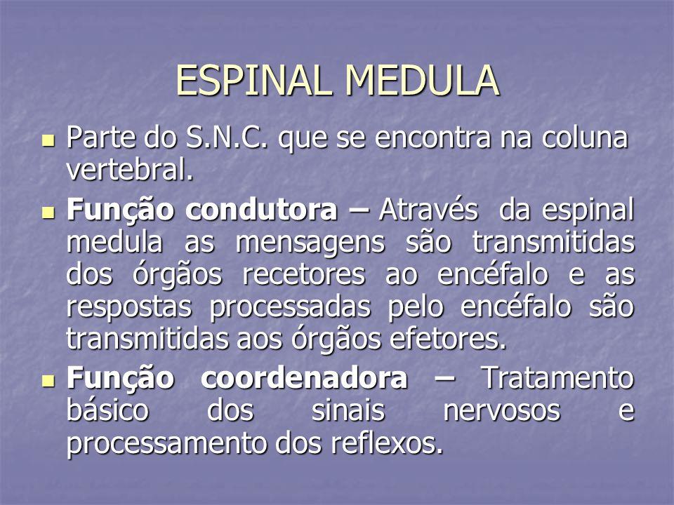 ESPINAL MEDULA Parte do S.N.C. que se encontra na coluna vertebral. Parte do S.N.C. que se encontra na coluna vertebral. Função condutora – Através da