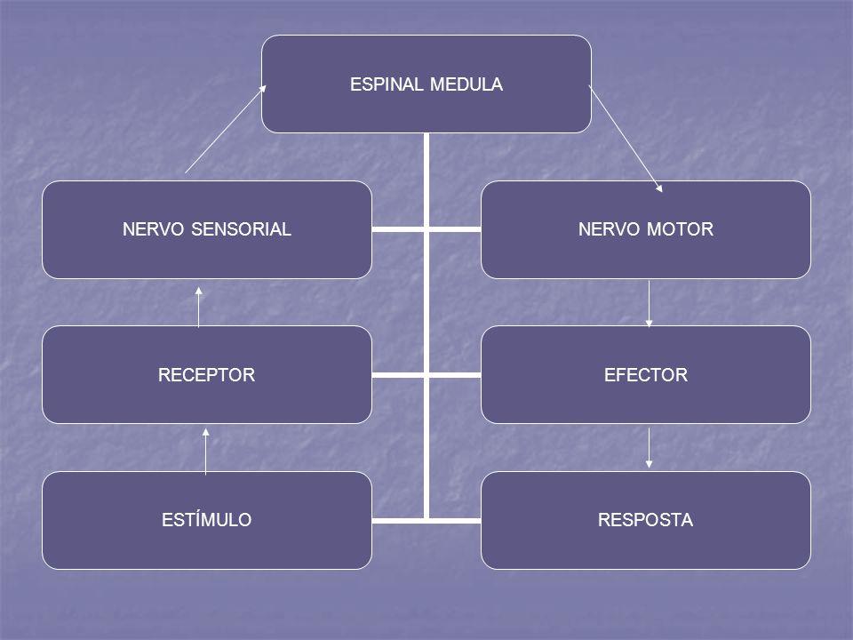 ESPINAL MEDULA NERVO SENSORIAL NERVO MOTOR RECEPTOREFECTOR ESTÍMULORESPOSTA