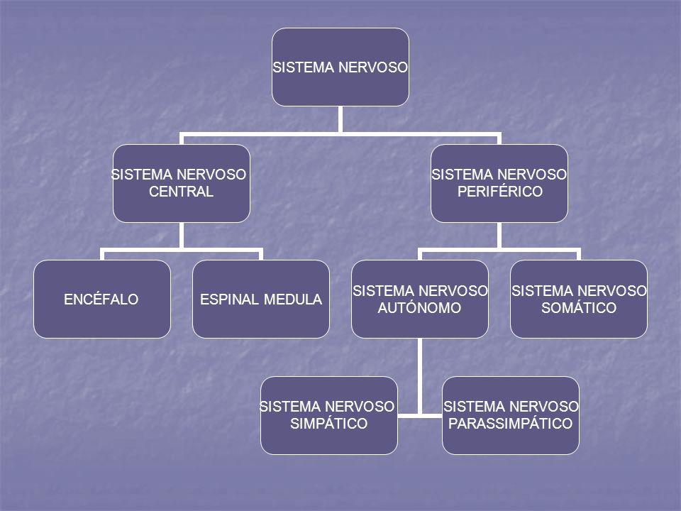 SISTEMA NERVOSO CENTRAL ENCÉFALOESPINAL MEDULA SISTEMA NERVOSO PERIFÉRICO SISTEMA NERVOSO AUTÓNOMO SISTEMA NERVOSO SIMPÁTICO SISTEMA NERVOSO PARASSIMP