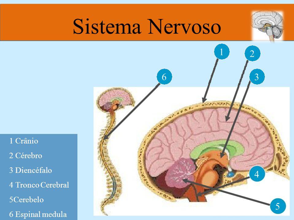 1 6 2 3 4 5 1 Crânio 2 Cérebro 3 Diencéfalo 4 Tronco Cerebral 5Cerebelo 6 Espinal medula Sistema Nervoso
