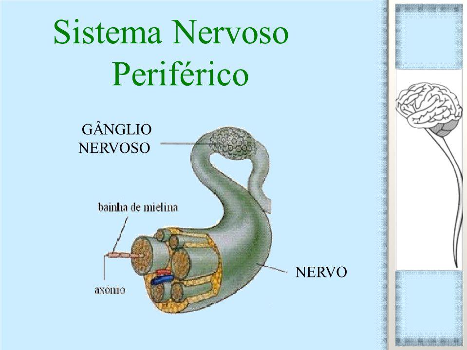 Periférico NERVO GÂNGLIO NERVOSO