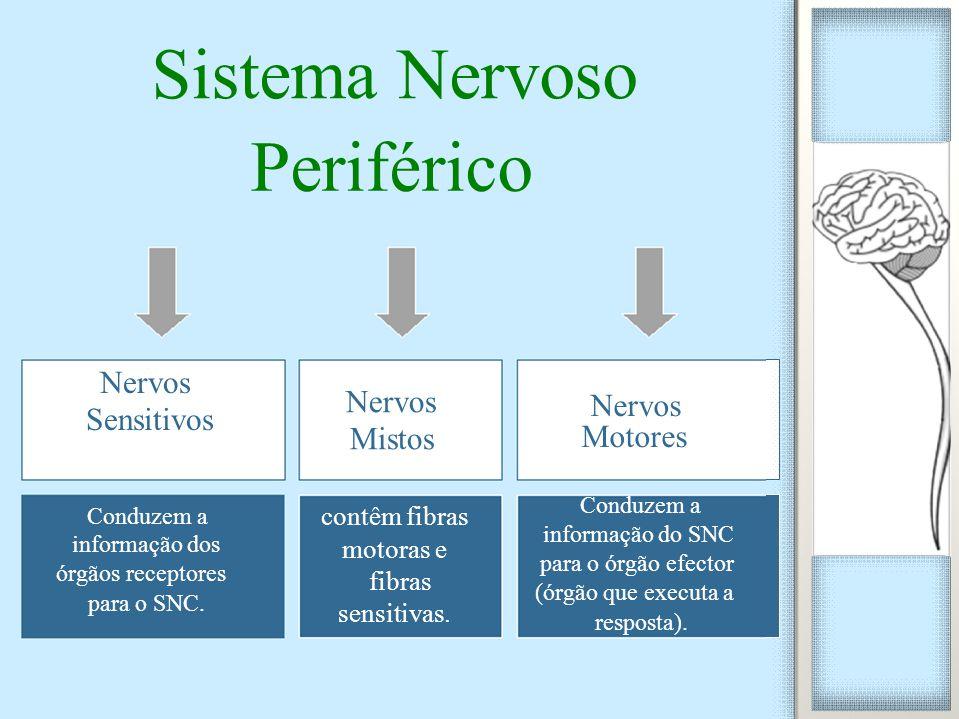Nervos Sensitivos Conduzem a informação dos órgãos receptores para o SNC. Nervos Mistos contêm fibras motoras e fibras sensitivas. Nervos Motores Cond
