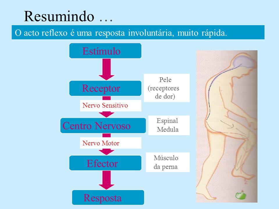Receptor Nervo Sensitivo Centro Nervoso Nervo Motor Efector Resposta Resumindo … O acto reflexo é uma resposta involuntária, muito rápida. Estímulo Pe