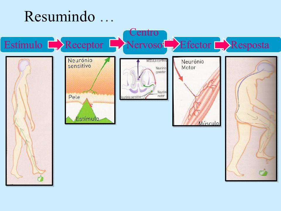 Resumindo … Estímulo Centro Receptor Nervoso Efector Resposta
