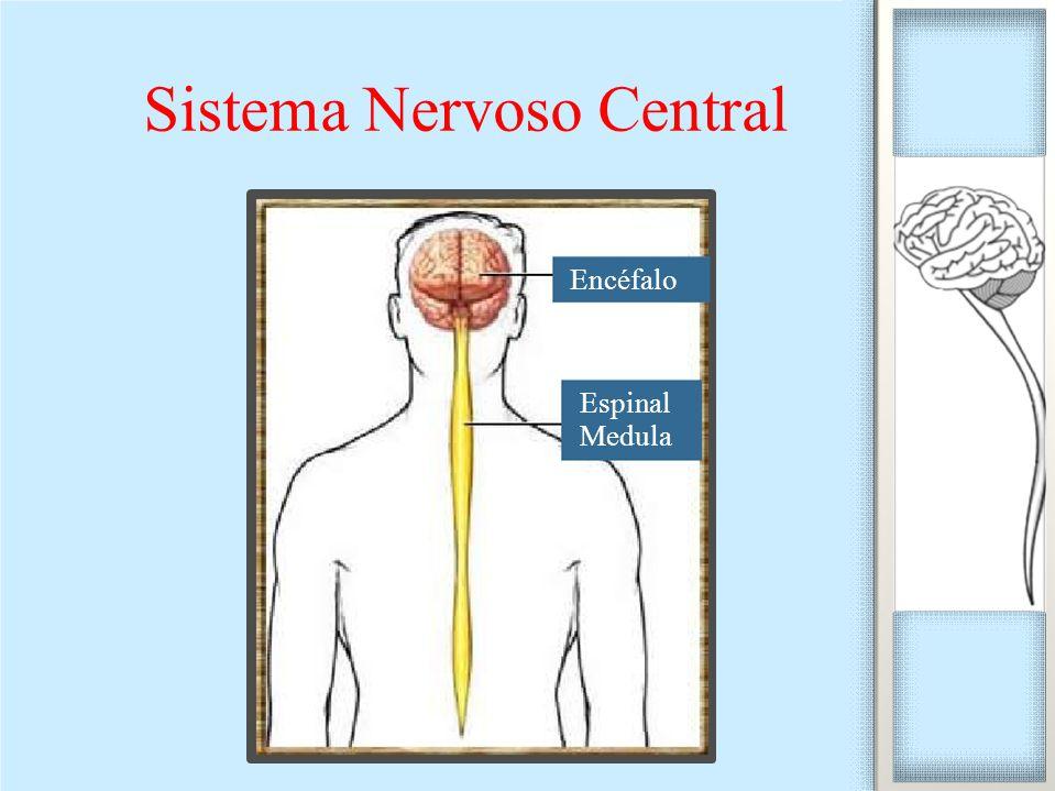 Sistema Nervoso Central Encéfalo Espinal Medula