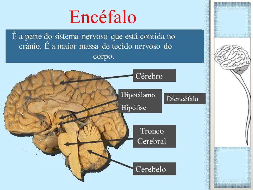 Diencéfalo Encéfalo É a parte do sistema nervoso que está contida no crânio. É a maior massa de tecido nervoso do corpo. Cérebro Hipotálamo Hipófise T