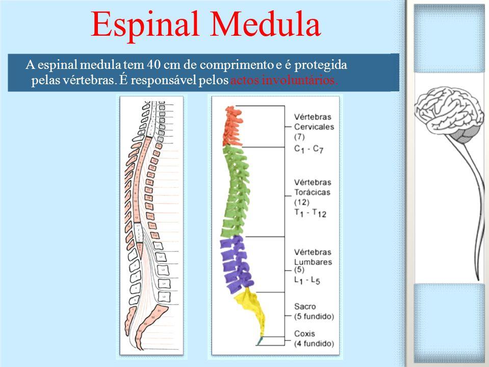 Espinal Medula A espinal medula tem 40 cm de comprimento e é protegida pelas vértebras. É responsável pelos actos involuntários.