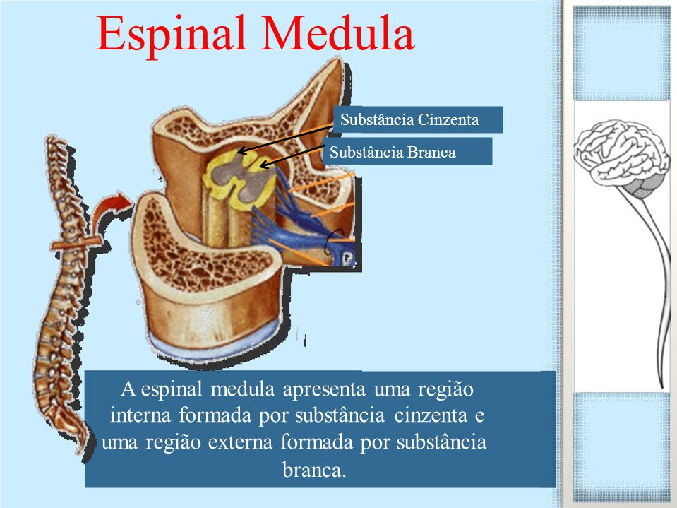 A espinal medula apresenta uma região interna formada por substância cinzenta e uma região externa formada por substância branca. Espinal Medula Subst