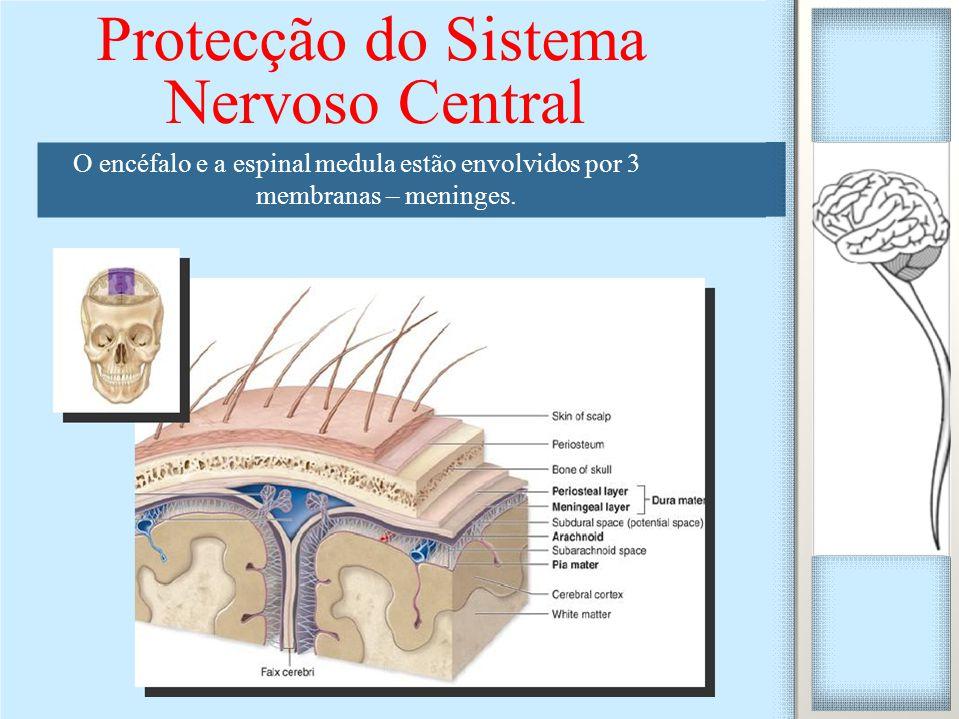 O encéfalo e a espinal medula estão envolvidos por 3 membranas – meninges. Protecção do Sistema Nervoso Central