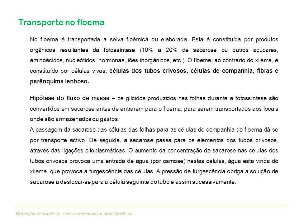 Obtenção de matéria - seres autotróficos e heterotróficos Transporte no floema No floema é transportada a seiva floémica ou elaborada. Esta é constitu