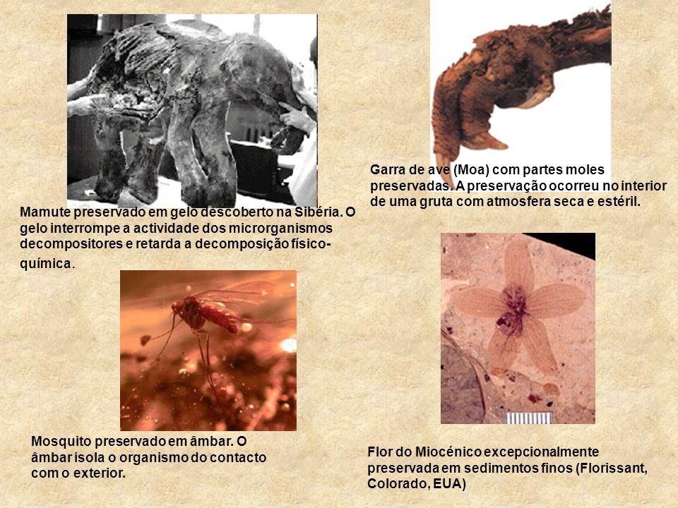 1 - Mumificação ou conservação total Todo ou quase todo o ser vivo fica conservado, mesmo as suas partes moles.