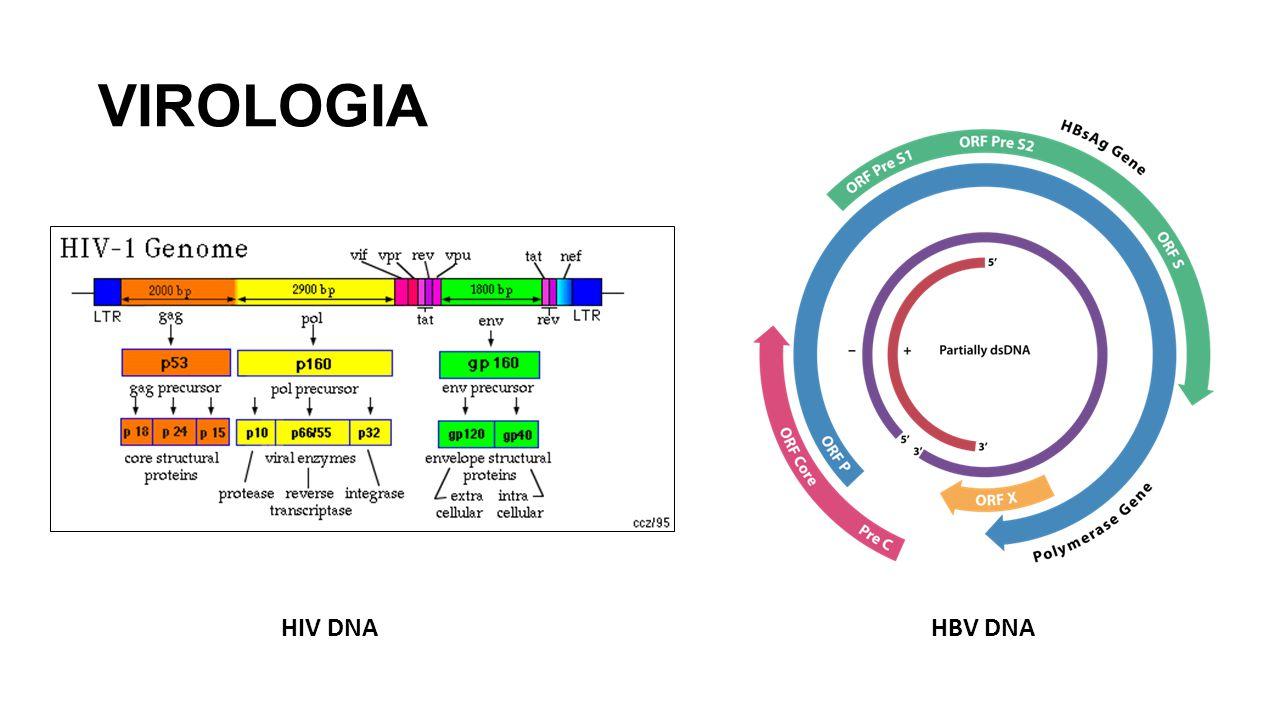 VIROLOGIA HBV DNAHIV DNA