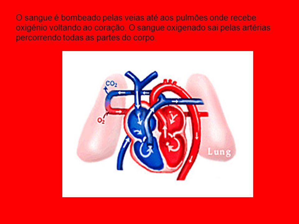 O sangue é bombeado pelas veias até aos pulmões onde recebe oxigénio voltando ao coração. O sangue oxigenado sai pelas artérias percorrendo todas as p