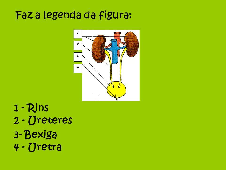1 2 4 3 1 - Rins Faz a legenda da figura: 2 - Ureteres 3- Bexiga 4 - Uretra