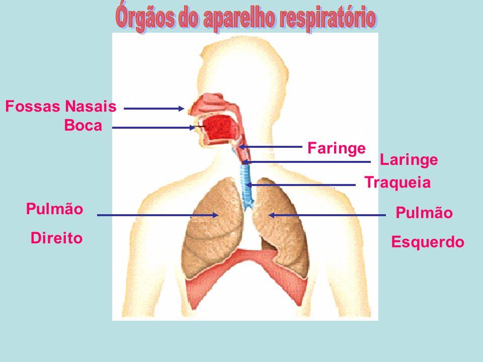 Boca Fossas Nasais Pulmão Direito Faringe Laringe Traqueia Pulmão Esquerdo