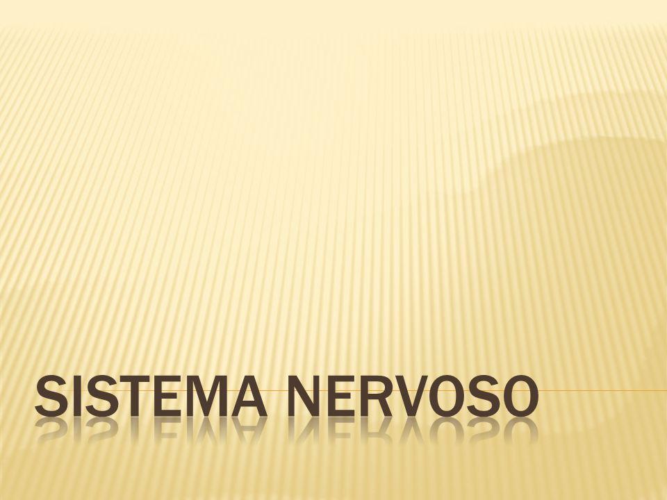  O sistema nervoso é responsável pelo ajustamento do organismo ao ambiente.