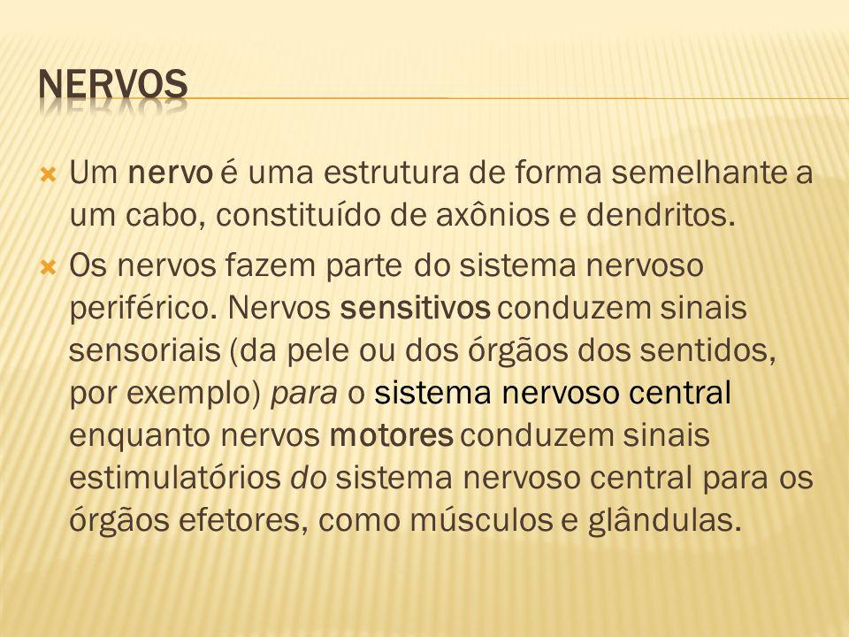  Um nervo é uma estrutura de forma semelhante a um cabo, constituído de axônios e dendritos.  Os nervos fazem parte do sistema nervoso periférico. N