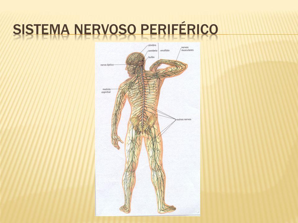  As fibras nervosas localizadas no interior e fora do cérebro são envoltas por uma membrana isolante denominada bainha de mielina.