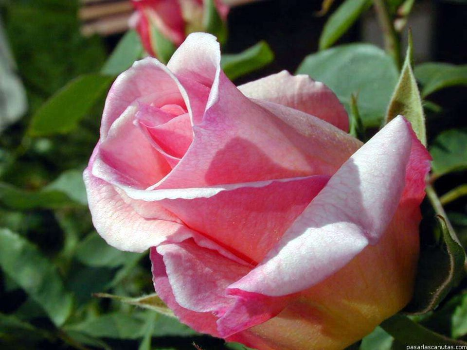 Água viva Existe um canteiro muito lindo De flores preciosas de valor Regado por um rio cristalino Uma fonte que jamais se esgotou Uma fonte que emana