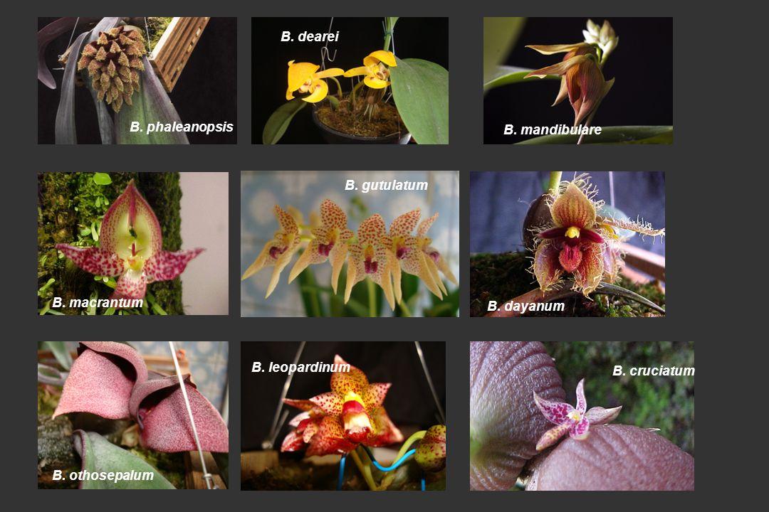 B.dearei B. mandibulare B. phaleanopsis B. macrantum B.