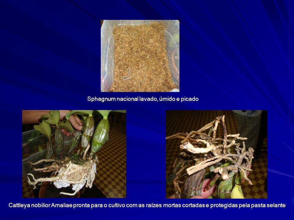 Sphagnum nacional lavado, úmido e picado Cattleya nobilior Amaliae pronta para o cultivo com as raízes mortas cortadas e protegidas pela pasta selante