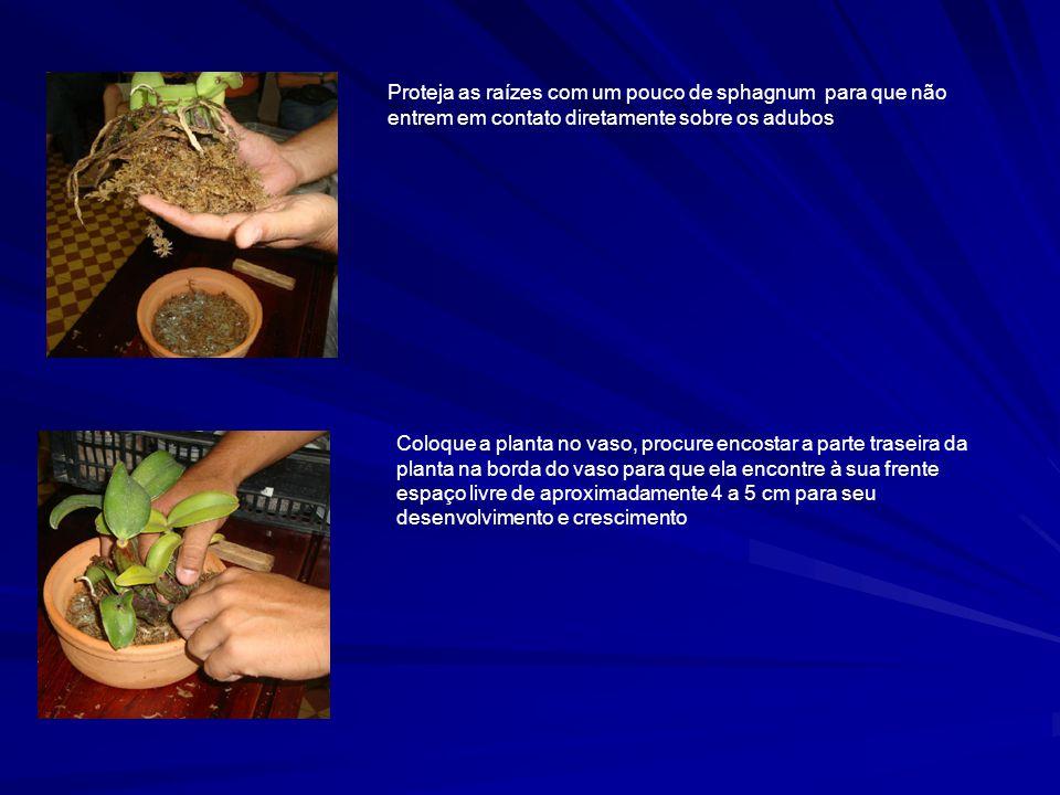 Proteja as raízes com um pouco de sphagnum para que não entrem em contato diretamente sobre os adubos Coloque a planta no vaso, procure encostar a parte traseira da planta na borda do vaso para que ela encontre à sua frente espaço livre de aproximadamente 4 a 5 cm para seu desenvolvimento e crescimento