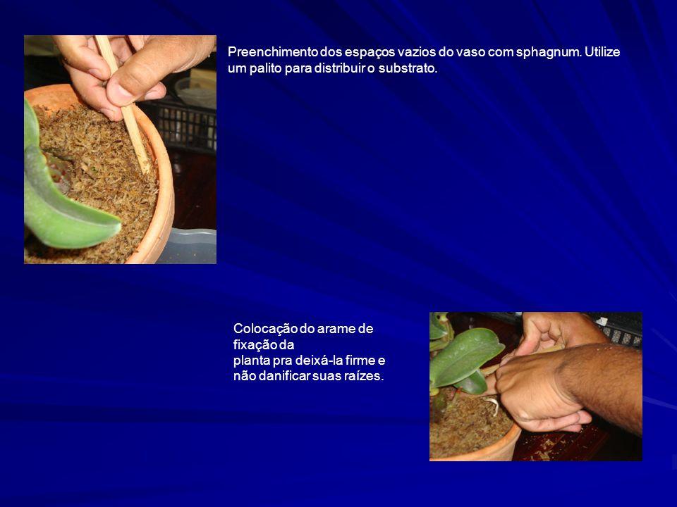 Preenchimento dos espaços vazios do vaso com sphagnum. Utilize um palito para distribuir o substrato. Colocação do arame de fixação da planta pra deix