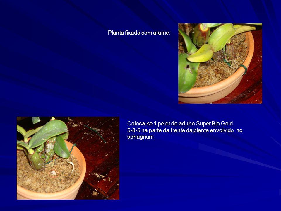 Planta fixada com arame. Coloca-se 1 pelet do adubo Super Bio Gold 5-8-5 na parte da frente da planta envolvido no sphagnum