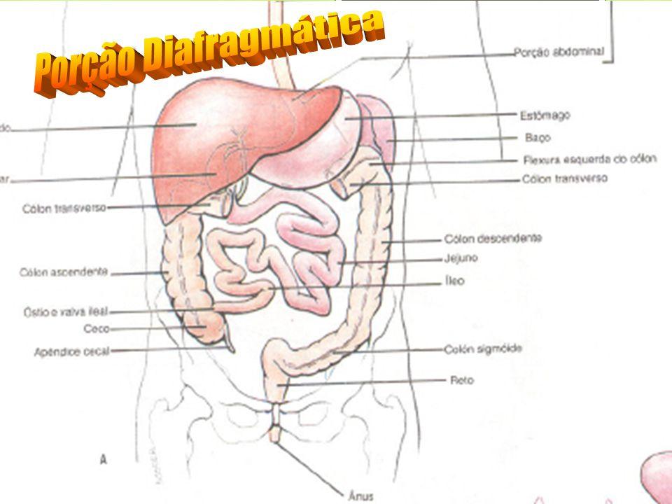Reservatório: Bolsa digestiva.