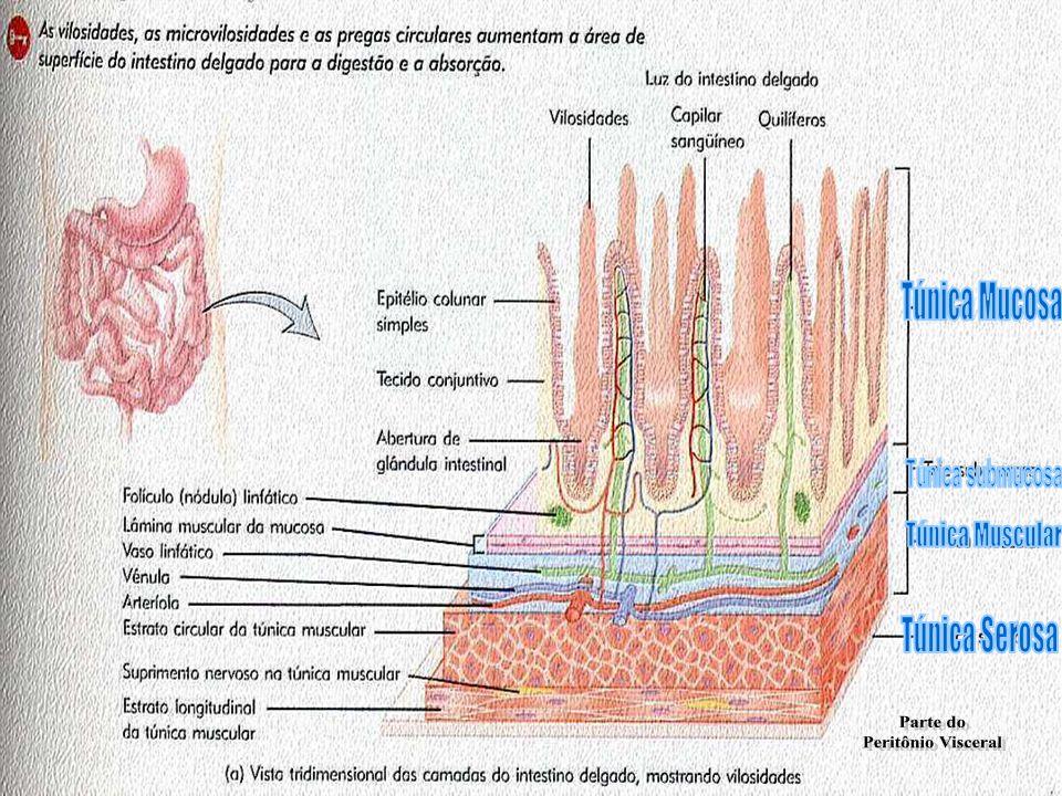 Intestino Grosso Funções: Absorção de água e de eletrólitos; Eliminação dos resíduos da digestão; Manutenção da continência fetal; Medicamentos e anestésicos podem ser Absorvidos;